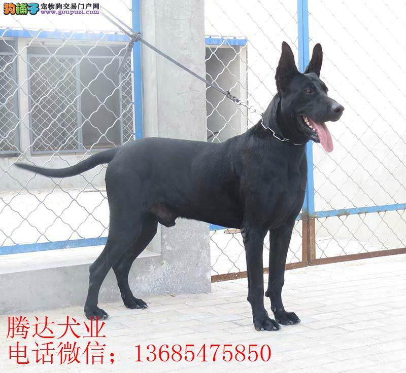 浙江黑狼犬价格哪里卖黑狼纯种黑狼多少钱一只1