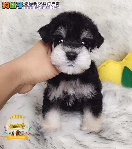 纯种雪纳瑞梗犬,高端最佳伴侣犬,顶级品质,信誉第一