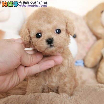 纯种小体泰迪 爆毛圆脸 颜色均有哦,欢迎来咨询。