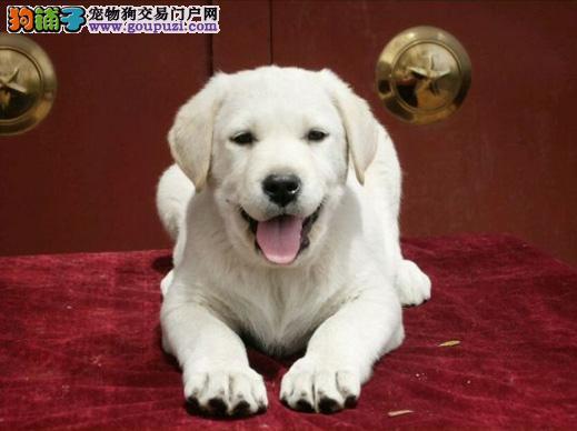 拉布拉多幼犬出售 专业繁殖十年养殖经验 包售后