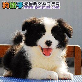 广州边牧犬价钱多少广州哪里有卖边牧犬