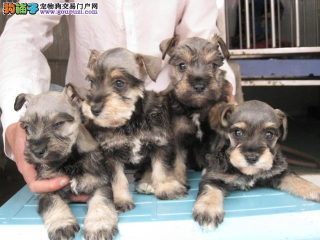 广州哪里有雪纳瑞狗卖,广州去哪里买雪纳瑞狗