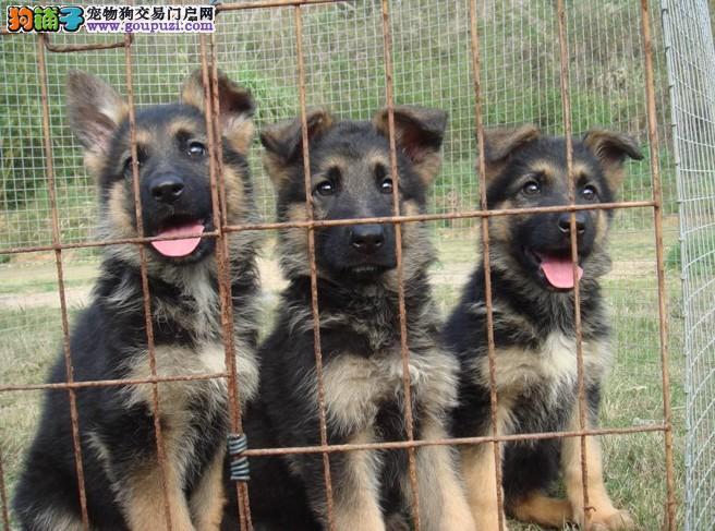 广州哪里有卖德国牧羊犬 德牧名犬多少钱一只