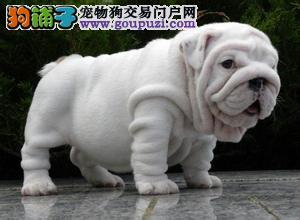 广州哪里有卖斗牛犬 带血统英国斗牛宝宝