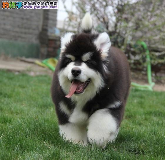广州哪里有大型正规的狗场 纯种阿拉斯加一只多少钱