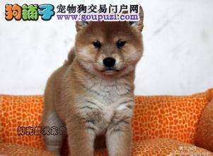 广州哪里有正规的犬舍 广州哪里有卖柴犬 柴犬价格