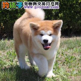 广州哪里有秋田犬卖,买狗首选康达犬舍