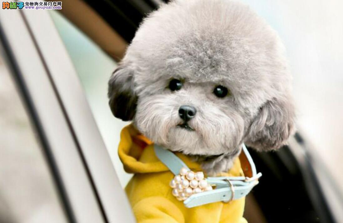 怎样区分泰迪和比熊犬?