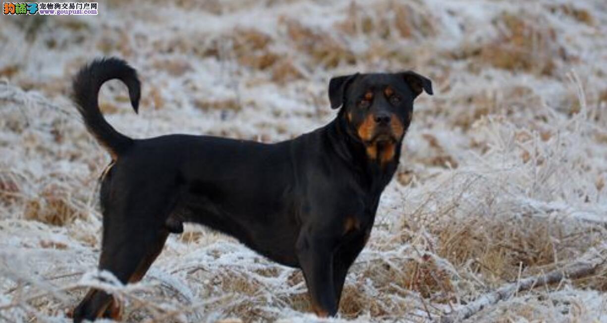 你了解罗威纳犬吗?