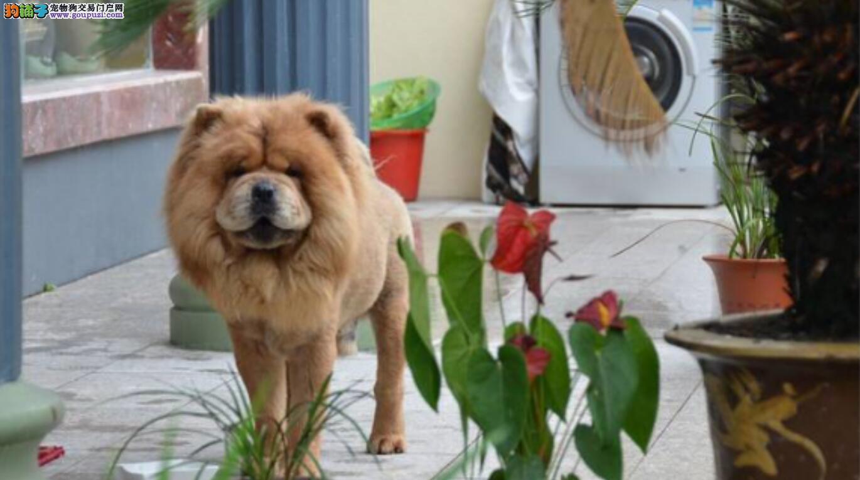 带松狮犬回家的5个理由!
