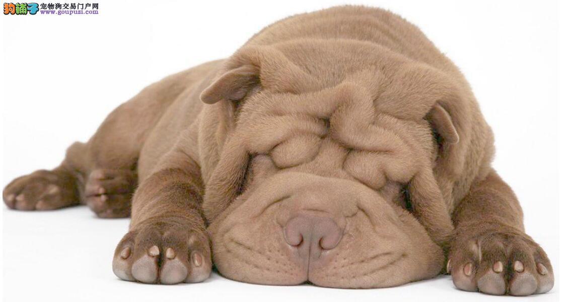 怎样识别纯种沙皮犬?