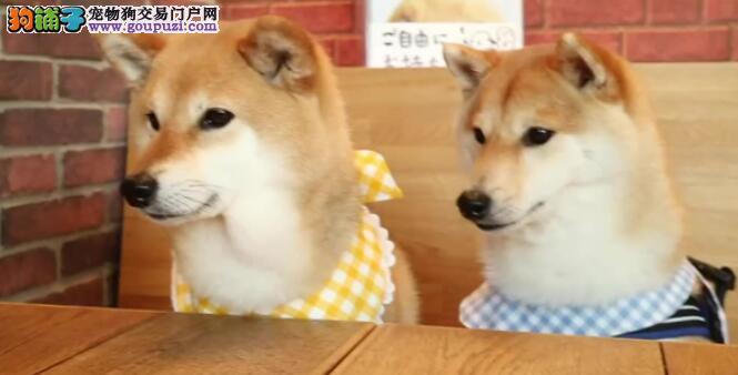 双胞胎狗狗你知道哪些呢怎么区别它们呢?