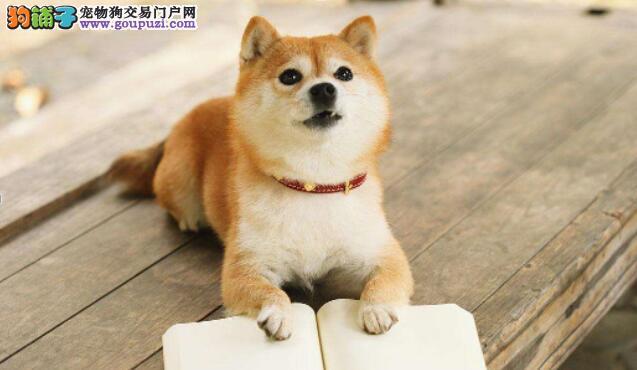 秋田犬和柴犬该怎么区分呢