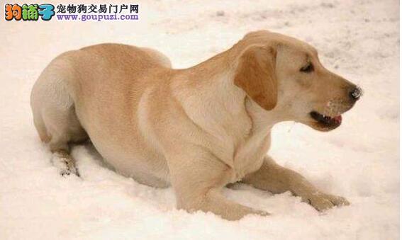 挑选拉布拉多犬的时候应该注意什么