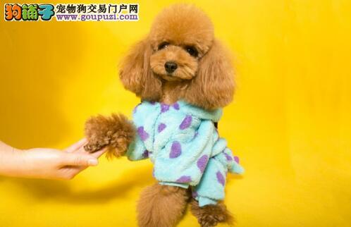 """泰迪是'烫发'的,还是""""直发""""的原因"""