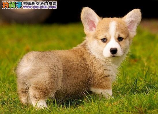 英国皇室都喜欢的柯基犬,好养吗?