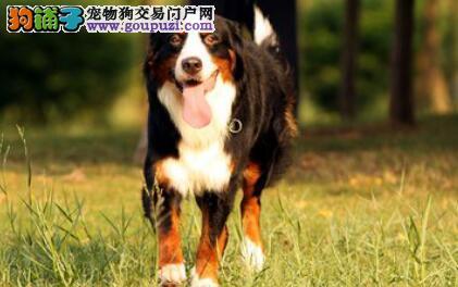 寿命最短的狗 你所不知道的伯恩山犬