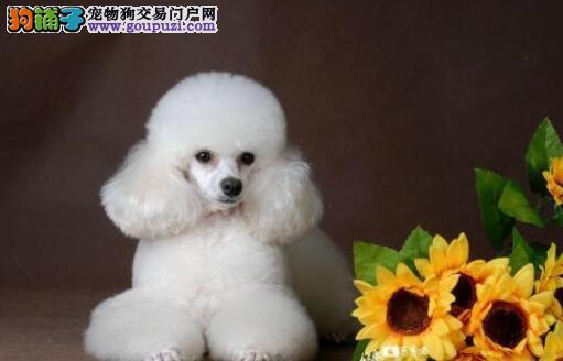 盘点最好养的狗狗:贵宾犬上榜,你最想养哪种狗狗呢?