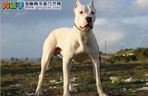 排名最凶猛的四种犬类,你听说过几种?