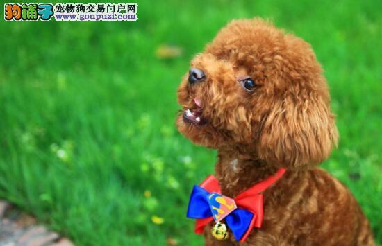 为什么有的泰迪犬毛发不卷呢?