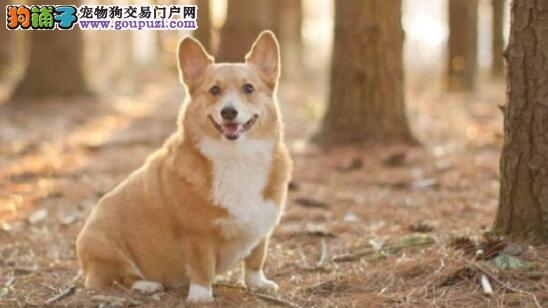 柯基犬是一种什么样的狗狗呢