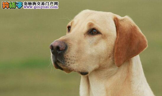 最让人省心的宠物狗——拉布拉多