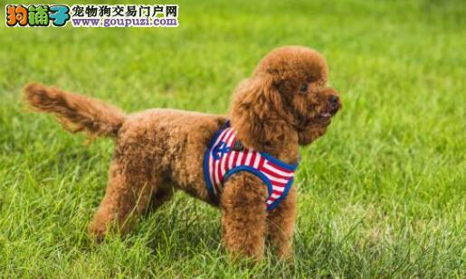 哪种颜色的泰迪狗狗最值钱呢