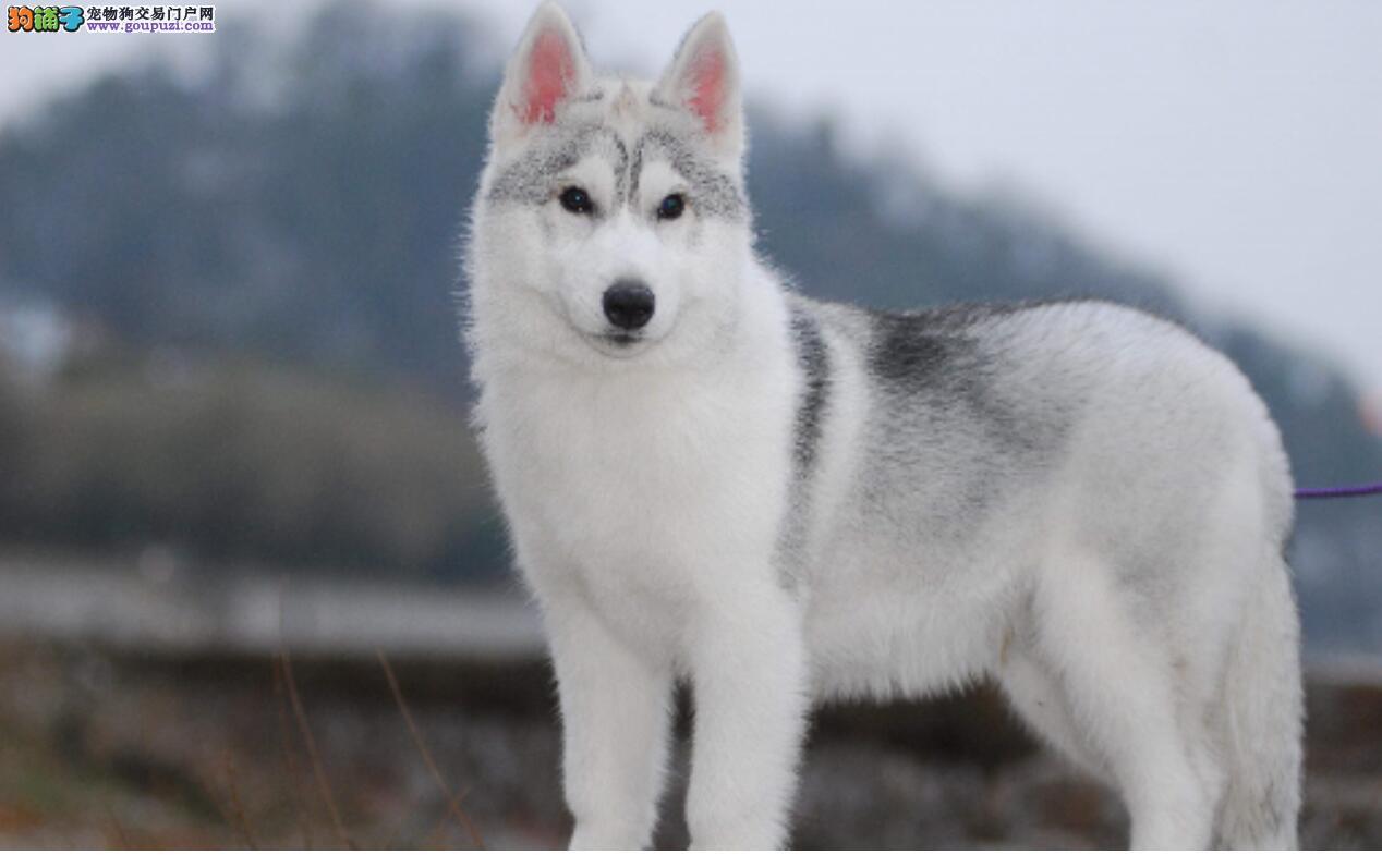 3种常见品种狗的优缺点,看看你家狗狗上榜了吗?