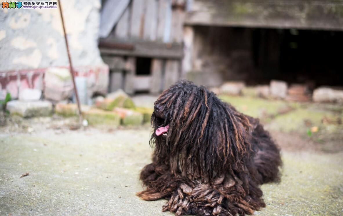 波利犬的来历你知道多少?