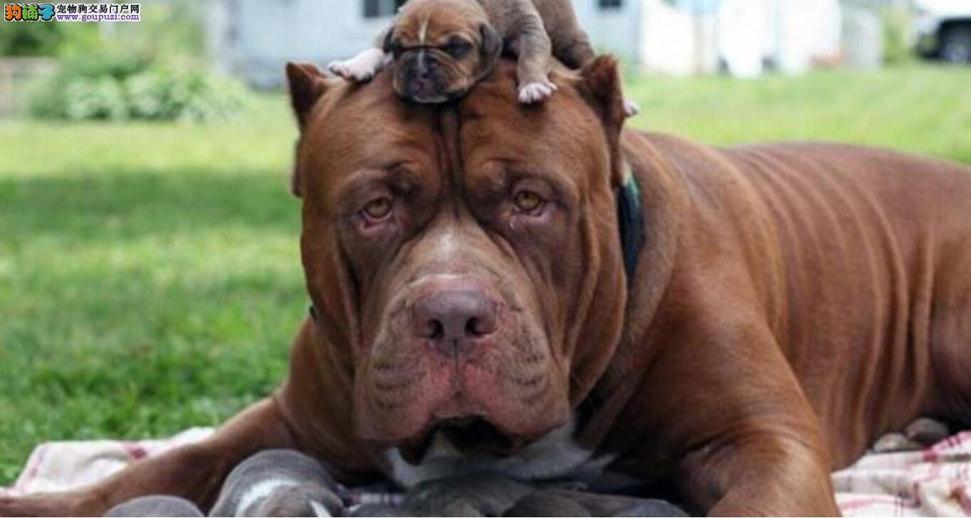 世界上战斗力最强的狗让你闻风丧胆