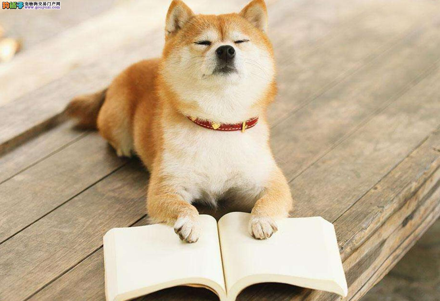 怎样才能养好一只柴犬