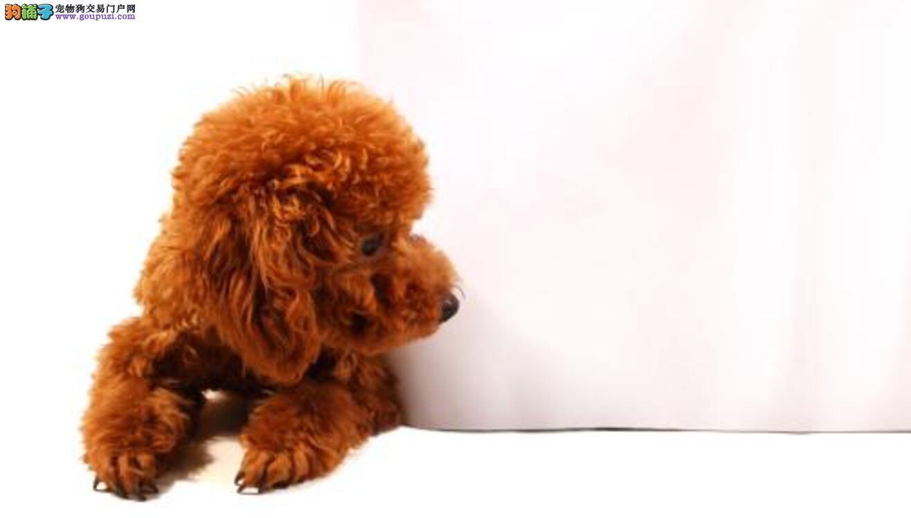 惩罚泰迪犬5个禁忌绝不能犯!