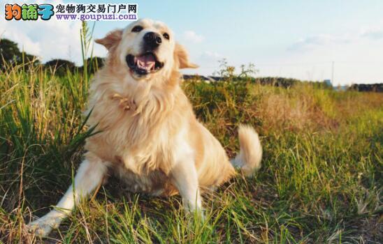 金毛养成记之幼犬禁忌