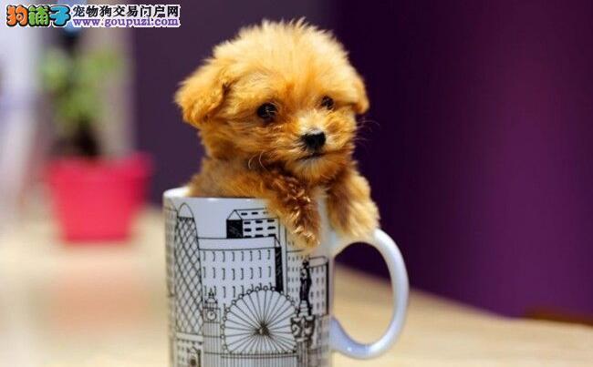 饲养茶杯犬的技巧原来这么多