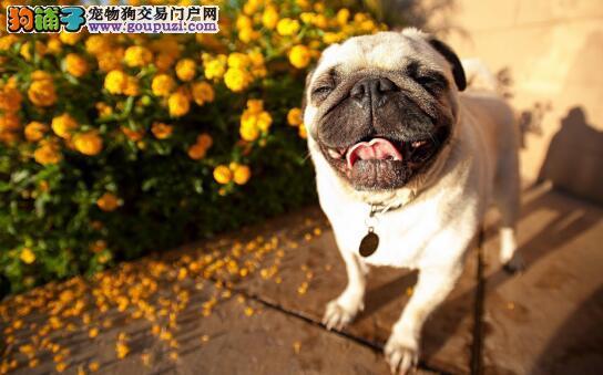 巴哥犬的常见疾病及预防