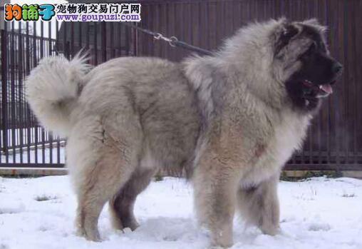 给高加索犬做护理有哪些部位要求