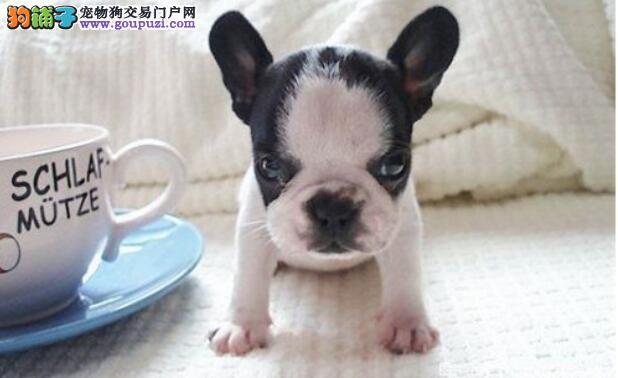 盘点狗狗歪头的都是什么意思?解析狗狗的一些肢体动作
