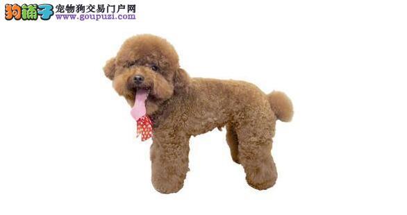 泰迪狗在饲养过程中需要注意哪些事项