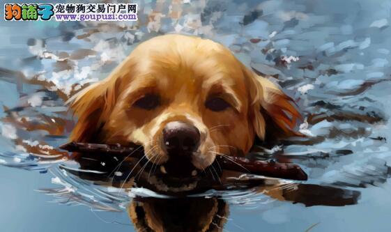 你知道怎样饲养金毛犬吗?