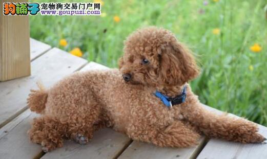 养一只泰迪犬最需要注意什么
