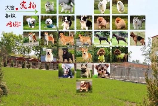 出售双十字哈尔滨阿拉斯加雪橇犬 公母全血统纯正