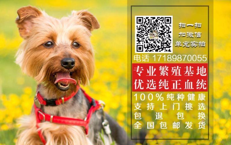 转让自繁自销的青岛泰迪犬 多只幼犬供您选择 签协议