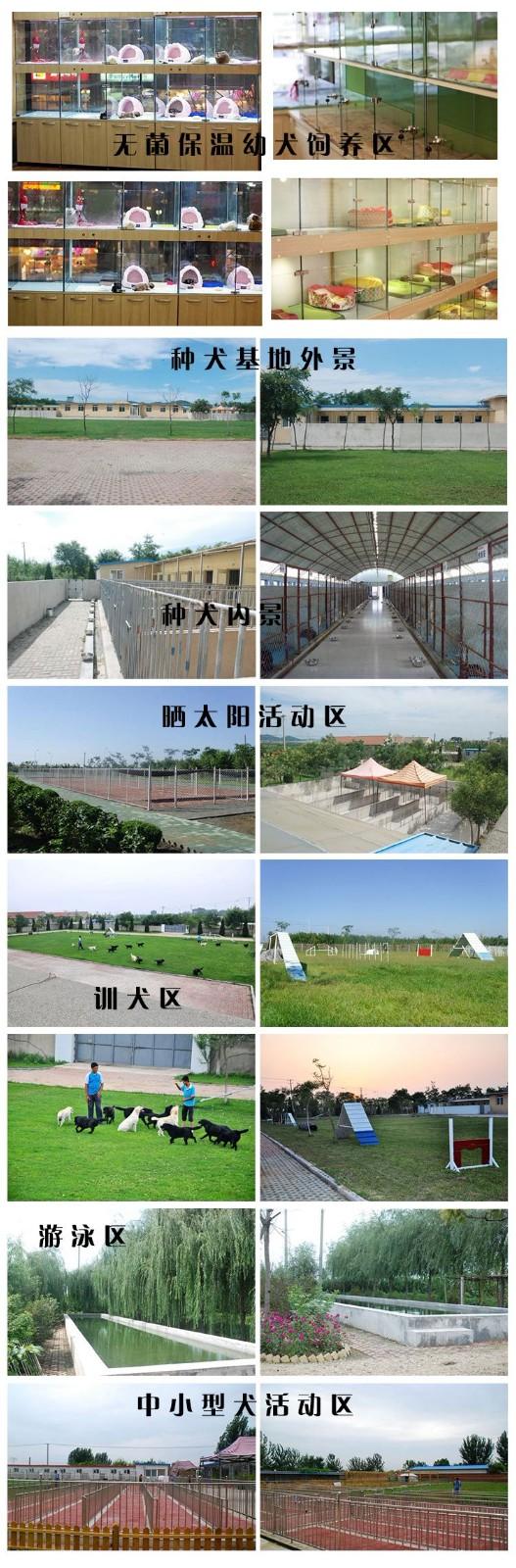 北京养殖场直销拉布拉多幼犬 拉拉价格优惠可送用品