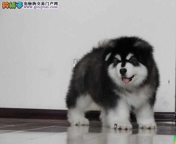 赛级精品熊版巨型阿拉斯加幼犬出售,保证健康纯种