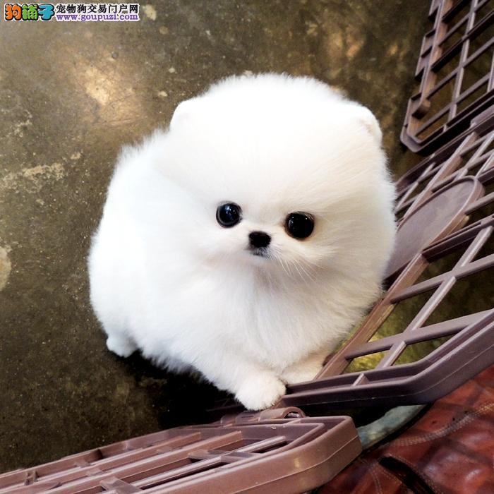 顶级爆毛英系俊介博美 纯种哈多利版球体博美幼犬