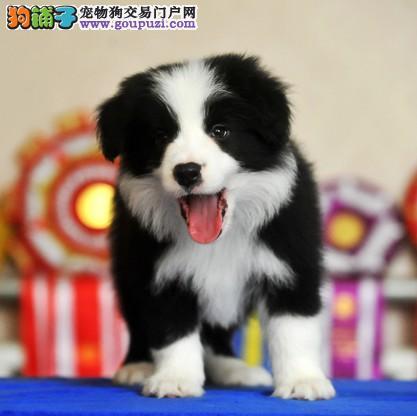 精品赛级齐白三通边境牧羊幼犬出售,保证健康纯种