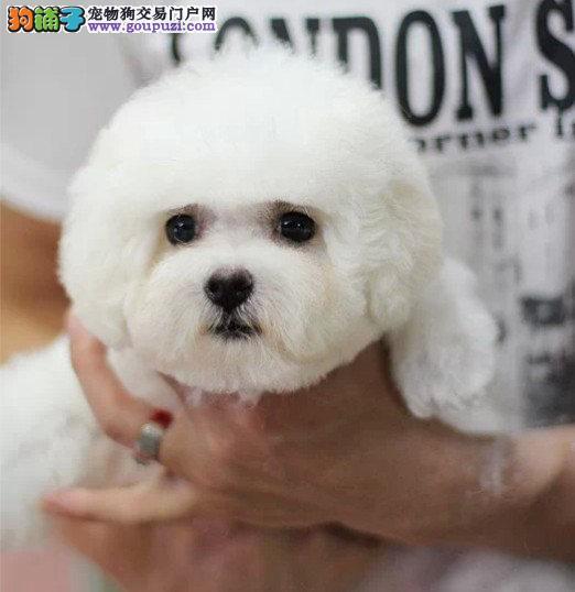 顶级大眼睛甜美脸型小体大毛量纽扣眼棉花糖比熊幼犬4