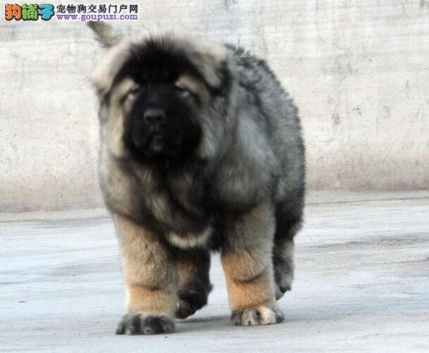 赛级精品高加索幼犬出售,在乎品质的欢迎前来选购