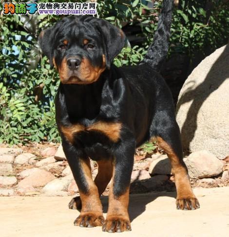 精品赛级罗威纳幼犬出售,保证健康纯种,在乎品质的来