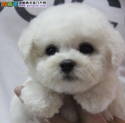 顶级大眼睛甜美脸型小体大毛量纽扣眼棉花糖比熊幼犬1